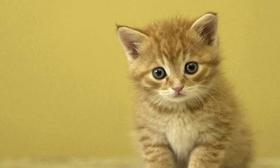 中国狸花猫总是流眼泪怎么办 狸花猫流眼泪原因