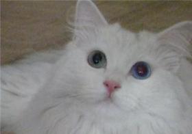 山东狮子猫白内障如何治疗 猫咪白内障症状