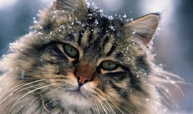 缅因猫拉肚子怎么办 缅因猫拉肚子原因介绍