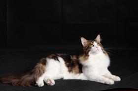 缅因猫感冒吃什么药 缅因猫感冒治疗方法
