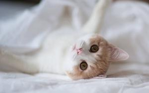 猫咪身上有跳蚤怎么办 猫咪跳蚤去除技巧