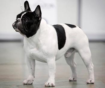 法国斗牛犬