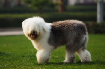 英国古代牧羊犬