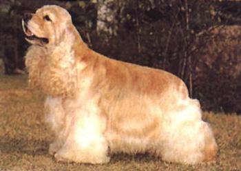 美国可卡犬