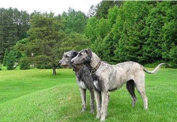 爱尔兰猎狼犬
