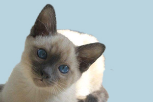 暹罗猫什么样品相的好