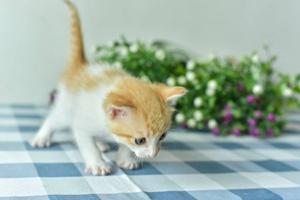 小猫断奶注意什么